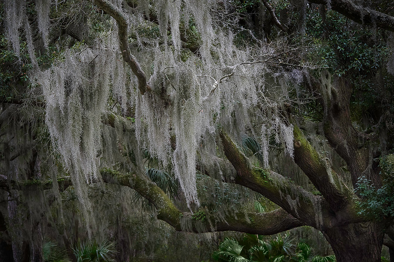 Spanish Moss Tree; Hilton Head; South Carolina; USA; 2014