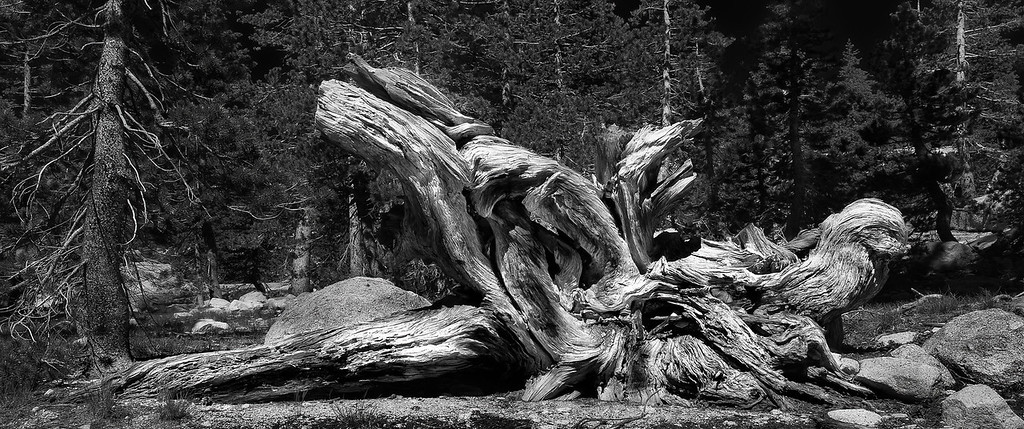 Tree Root; Yosemite National Park; California; USA; 2016