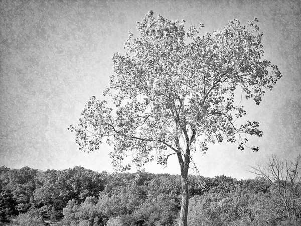 Trees I Have Known in Black and White