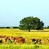 Cows and a Tree