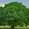 Summer Hackberry Tree