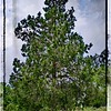 "Eastern Red Cedar-Framed<br /> Order a 16x20 canvas print for $90.00 until May 4 at 5:00 pm.<br /> Just go to the link below to order...<br /> <a href=""http://fineartamerica.com/weeklypromotion.html?promotionid=167740"">http://fineartamerica.com/weeklypromotion.html?promotionid=167740</a>"