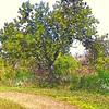 Sacred Tree (Version II)