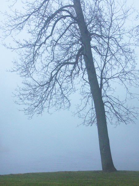 A Tree Cloaked in Fog