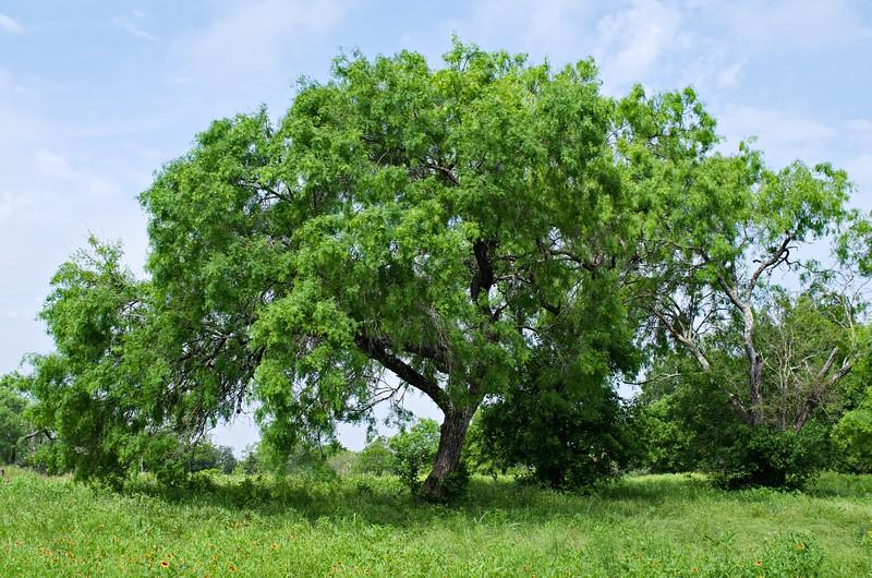 Mesquite Tree