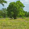 Summer Tree II