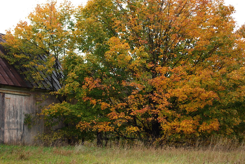 Autumn Tree and Old Barn