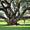 Historic Oak