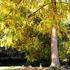 A Stately Cypress