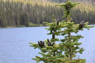 Abies lasiocarpa - Subalpine Fir  at Elizabeth Lake