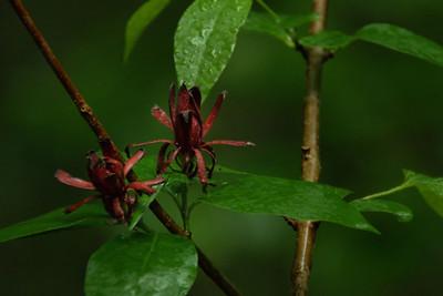 Calycanthus floridus - Sweetshrub