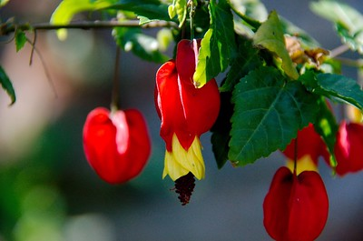 Abutilon megapotamicum - Trailing Abutilon