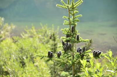 Abies lasiocarpa - Subalpine Fir