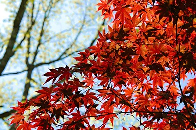 Acer -  Japanese Maple