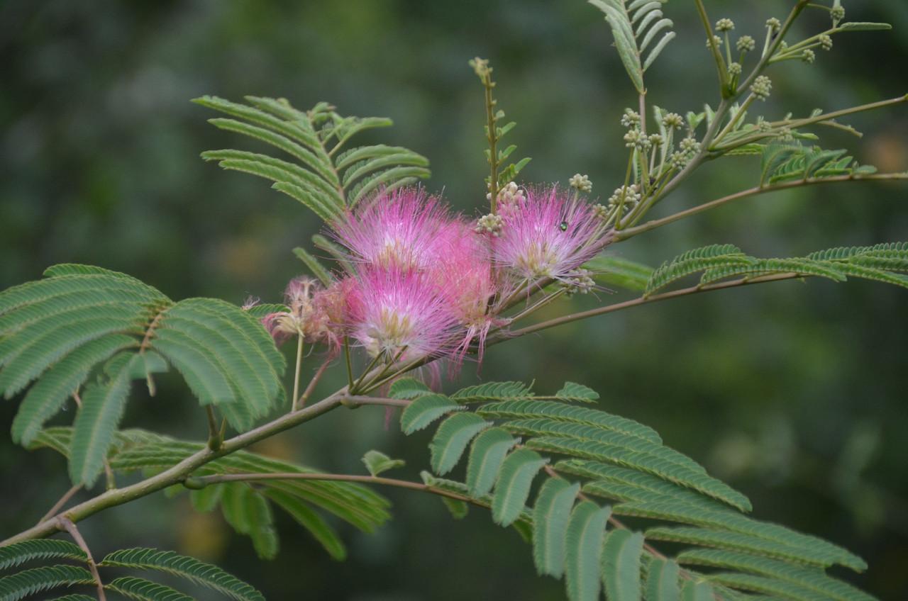 Albizia - Silk Tree, Mimosa