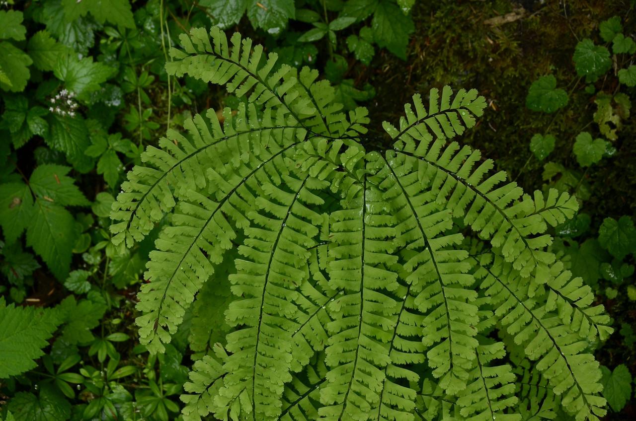Adiantum pedatum - Maidenhair fern