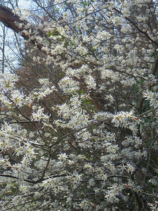 Amelanchier arborea - Downy Serviceberry