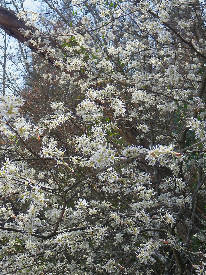 Amelanchier arborea - Downy Serviceberry