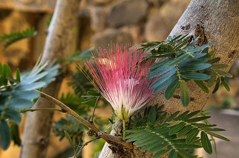 Albizia - Mimosa at La Casa del Mundo