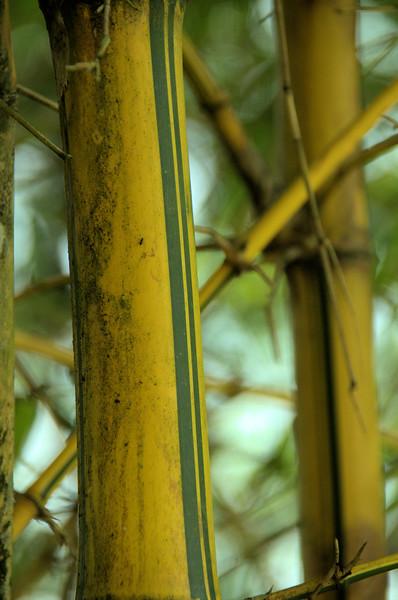 Bambusa vulgaris - common bamboo