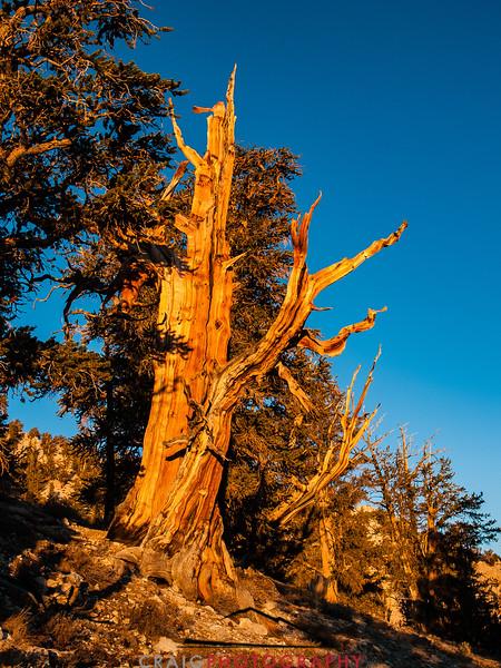 Bristlecone Pine forest California 10