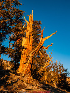 Bristlecone Pine forest California 10