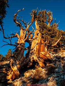 Bristlecone Pine forest California 8