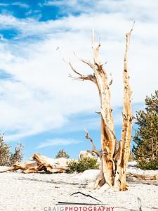 Bristlecone Pine forest California 7