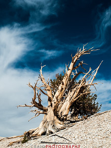 Bristlecone Pine forest California 5