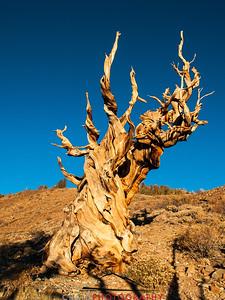 Bristlecone Pine forest California 3