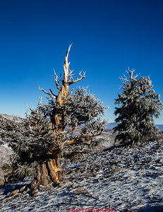 Bristlecone Pine forest California 13