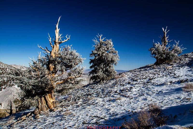 Bristlecone Pine forest California 12