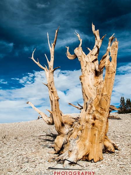 Bristlecone Pine forest California 6