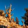 Bristlecone Pine forest California 9