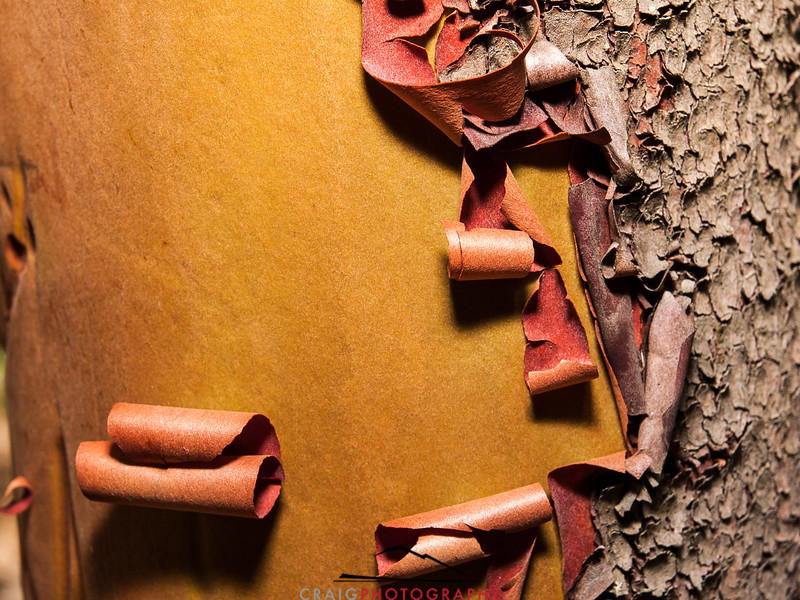 Madrone Tree detail 2