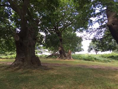 Bradgate Park Oaks