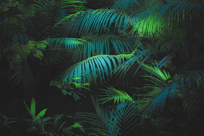 Ferns. Daintree Rainforest, Australia