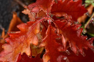 Icy Oak Leaves