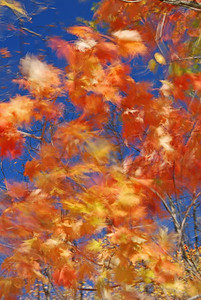Maple Leaves in Motion