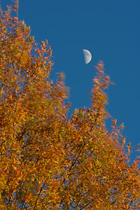 October Oak in the Wind