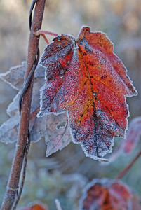 Frosted Maple Sapling