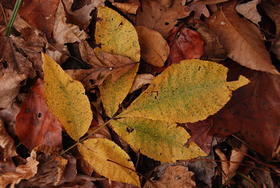 Fallen Hickory Leaves