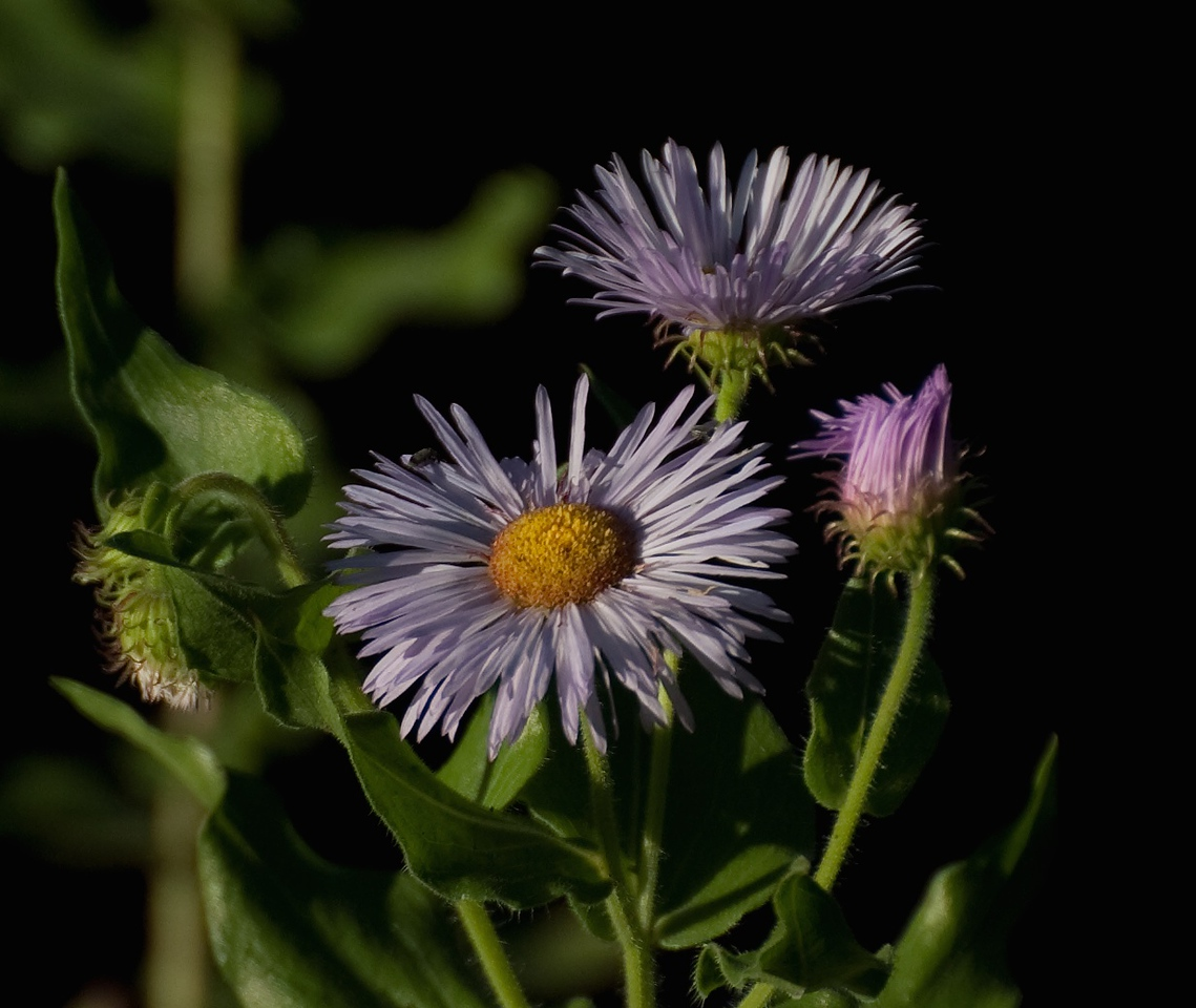 Asters sagging and spent