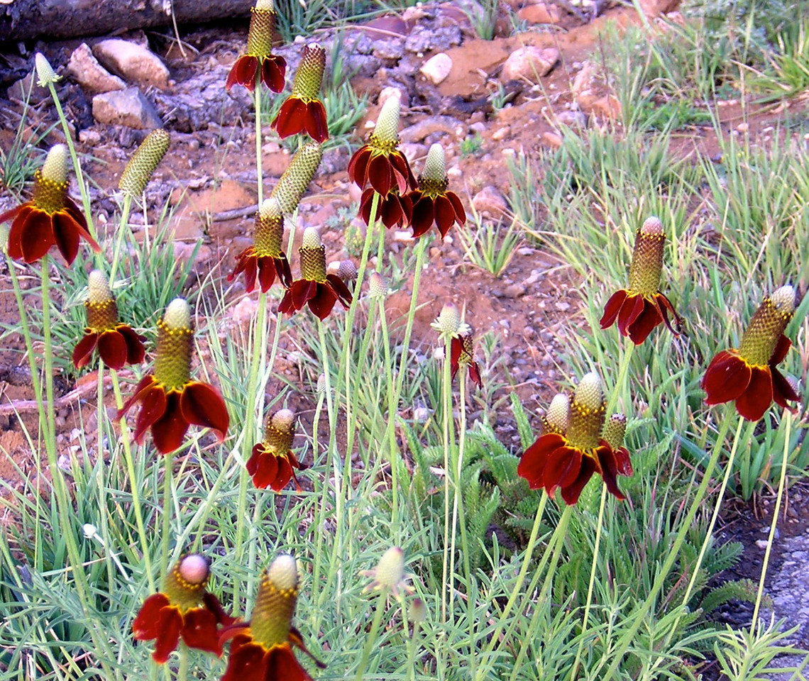 Mexican Hats red
