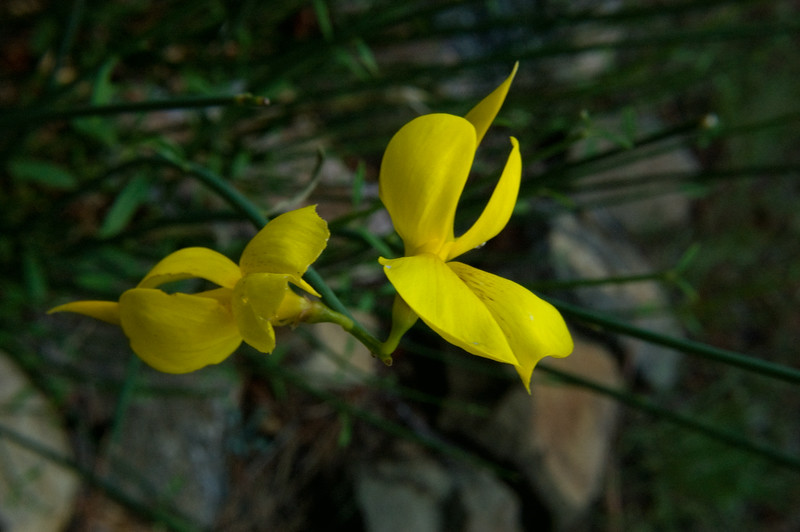 Spanish Broom Bloom-0