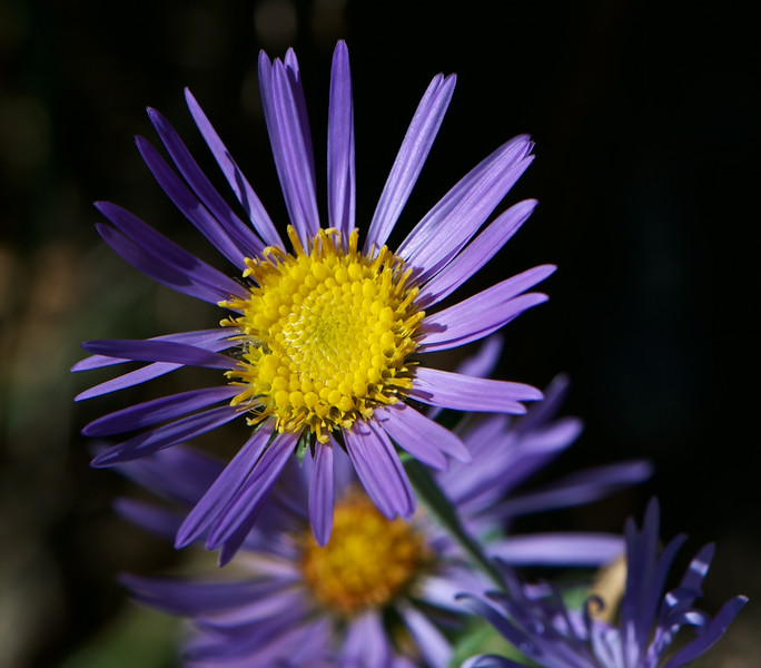 _JED5897    Asters
