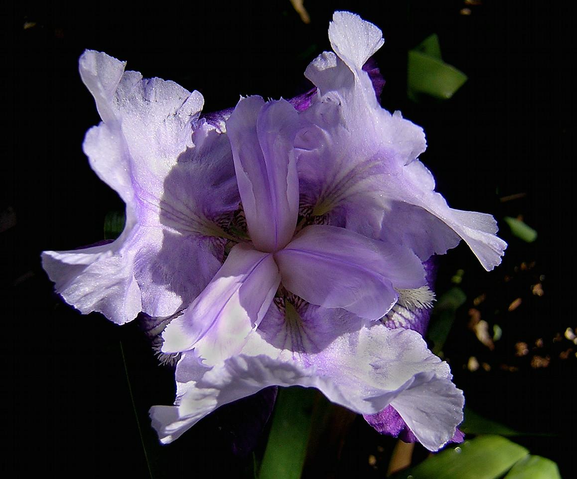 Iris-c-2004