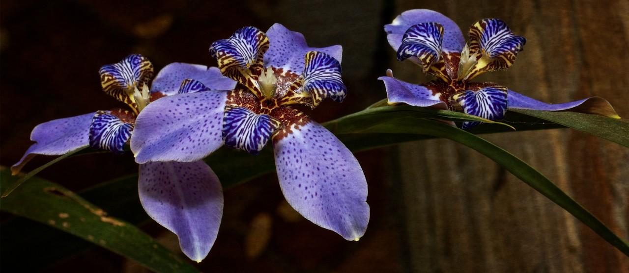 _JED3700    Giant Iris