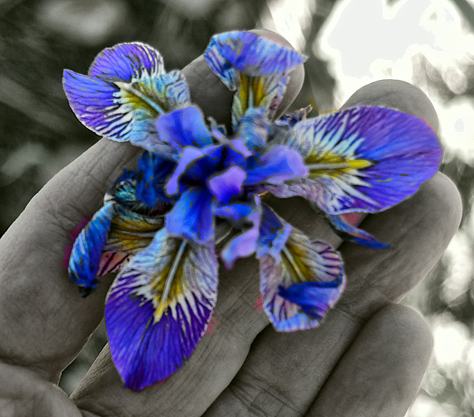 Iris_hand-size