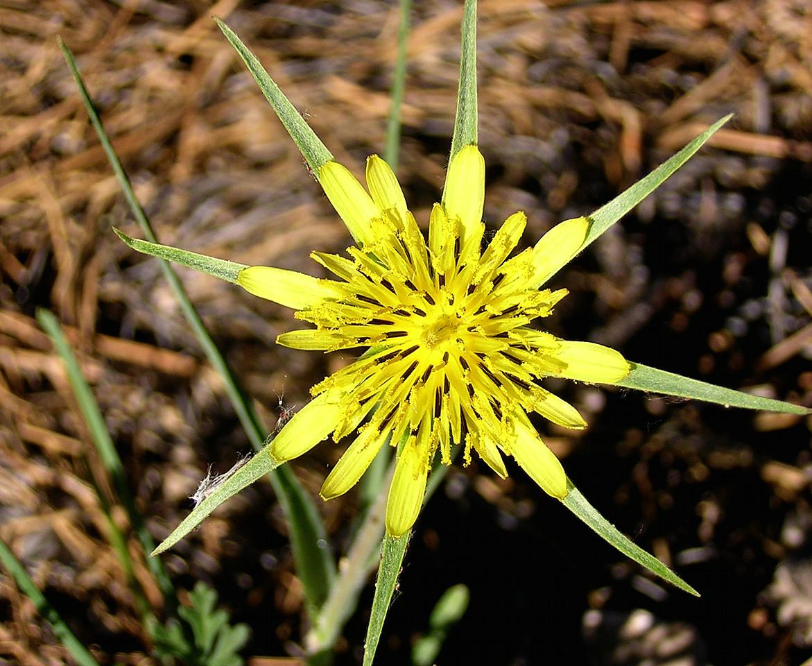 Flower yellow star--  Salsify